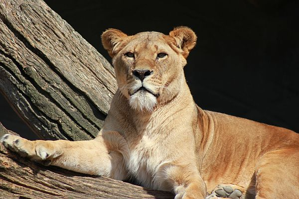Das ist eine Löwin. Sie kann Dir hier bei Hagenbeck nichts tun.